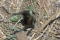 Oklahoma Brown Tarantula Retreating into Burrow - Aphonopelma hentzi