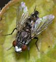 unknown fly - Metopia argyrocephala - male