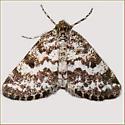 Eufidonia notataria - Powder Moth - Eufidonia notataria