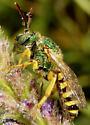 metallic green bee - Agapostemon
