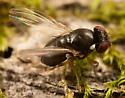annoying fly - Amiota