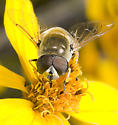 what syrphid? - Eristalis stipator - male