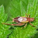 Restless Bush Cricket - Hapithus agitator - male