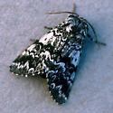 Black Zigzag - Panthea acronyctoides