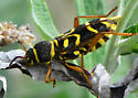 Pretty, sick beetle - Xylotrechus insignis