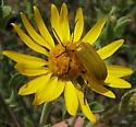 Small, Yellow Blister Beetle - Zonitis sayi