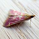 Raspberry Pyrausta (Pyrausta signatalis)  - Pyrausta signatalis