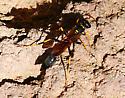 Sphecidae - Sceliphron caementarium