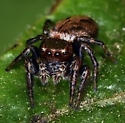 Jumping Spider sp - Evarcha proszynskii