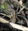 Pardosa sp - Pardosa