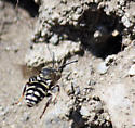 kleptoparasitic bee - Epeolus olympiellus - female