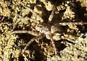 Wolf Spider sp.  - Arctosa littoralis
