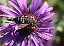 a cuckoo wasp?