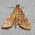 Unknown Moth - Anageshna primordialis