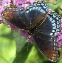 Red-spotted purple (dorsal view) - Limenitis arthemis