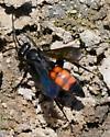 Black & Red Spider Wasp - Anoplius americanus