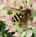 fly - Syrphus torvus - male
