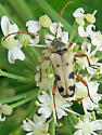 Evodinus monticola