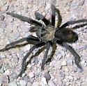 Tarantula  - Aphonopelma eutylenum
