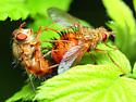 Hystricia abrupta - male - female