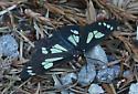 stray butterfly - Gnophaela latipennis