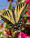 Tiger Swallowtail - Papilio - female