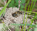 Cellophane Bee - Colletes inaequalis