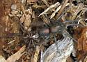 Entelegynes 6.15.09 01a - Cybaeopsis