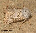 Schinia deserticola