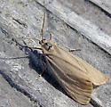 Large pale moth - Phryganidia californica - female