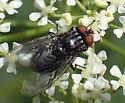 tachinidae sp - Synthesiomyia nudiseta - female
