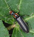 Coleoptera - Podabrus