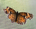 some kind of cresent? - Phyciodes tharos