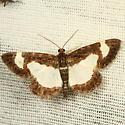 Moth - Heliomata cycladata
