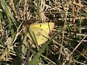 Unknown Yellow Sulphur - Colias eurytheme