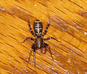 ID Request, Spider - Castianeira