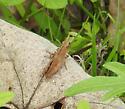 Chortophaga viridifasciata ? - Chortophaga viridifasciata