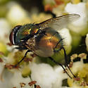 fly, sp - Lucilia