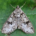 A Pyralid sp. - Palpita magniferalis