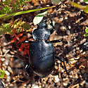ID for a beetle? - Callisthenes semilaevis