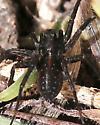 spider, black, pale gray spots