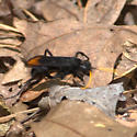 Spider Wasp - Entypus unifasciatus