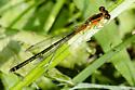 orange forked tail damsel - Ischnura verticalis - female