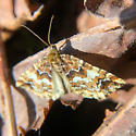 woodland moth - Enchoria lacteata