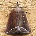 9059 Curved Halter Moth - Capis curvata