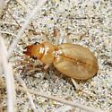 Unknown Beetle - Nebria diversa