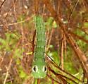 unknown caterpillar - Xylophanes tersa