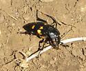 Cascade Head beetle - Nicrophorus defodiens