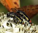 beetle - Acmaeodera flavomarginata