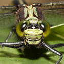 Black-shouldered Spinyleg - Dromogomphus spinosus - male